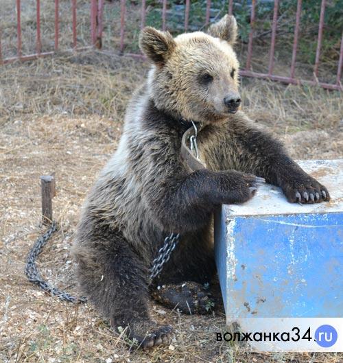 Бурый медведь в открытом вольере