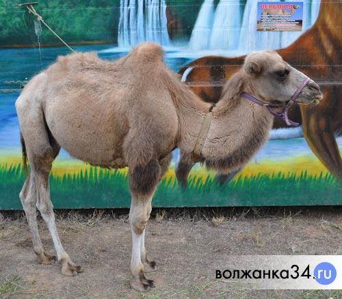 Верблюд в Сафари-парке, г.Волжский
